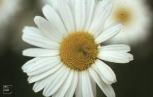 Fly on Leucanthemum, Gwaelod, 1983