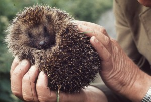 Hedgehog, Draethen