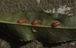 Pontania proxima, Sawfly galls on crack willow Cynon ox-bow  28/9/86