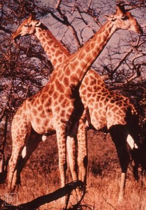Giraffes, Kruger Park