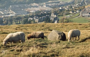 Sheep above Llynypia. Light industry left, Rhondda College of Education right. 27 October 1971.