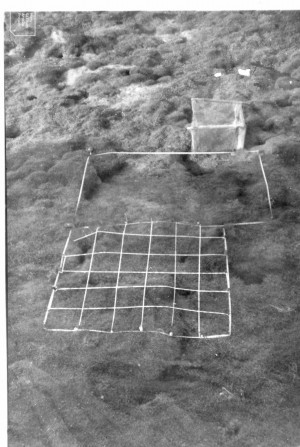 2 quadrats and enclosure. Holcus in foreground, Armeria in background.